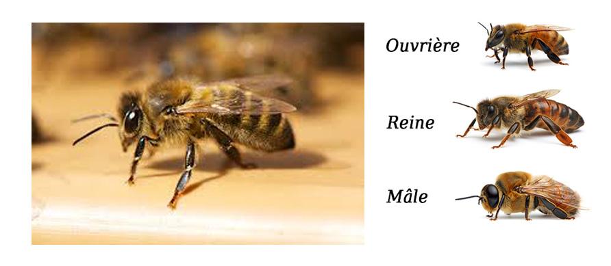 apiculteur en arabe