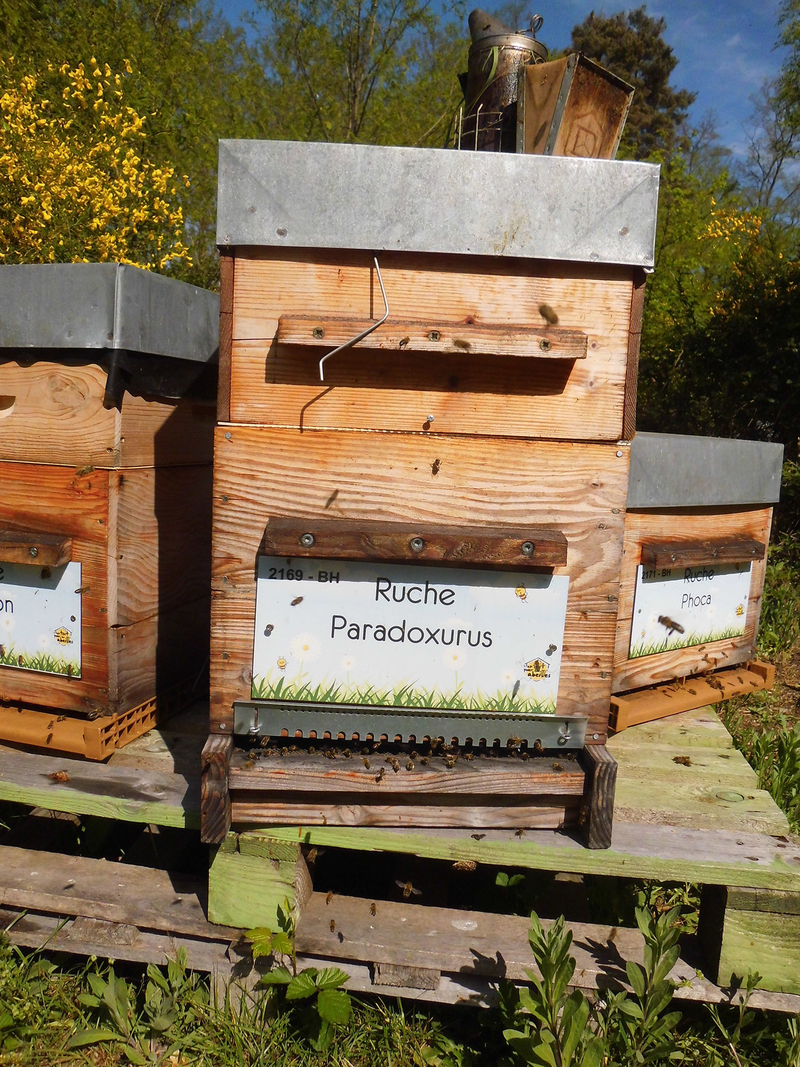 La ruche Paradoxurus