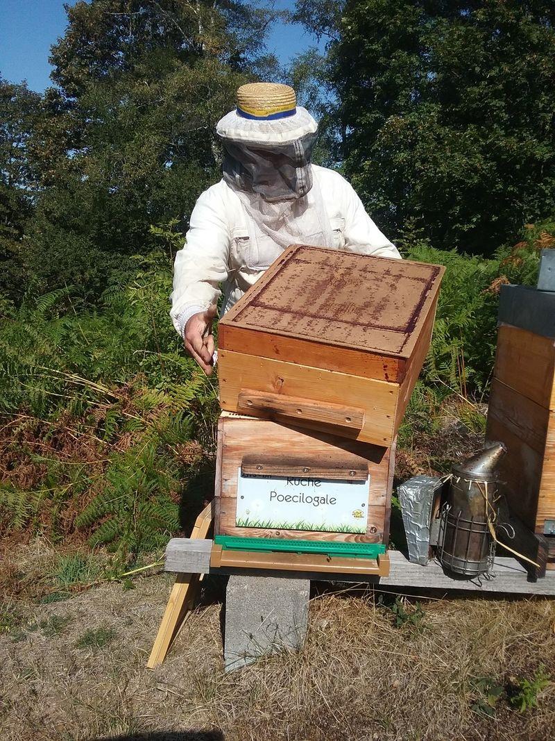 La ruche Poecilogale