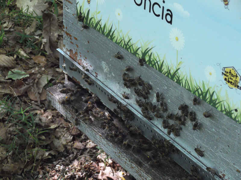 La ruche Uncia