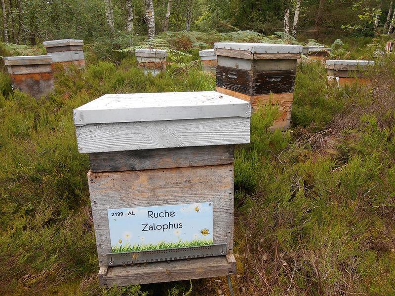 La ruche Zalophus
