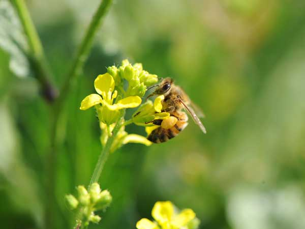 La ruche Rougequeue noir