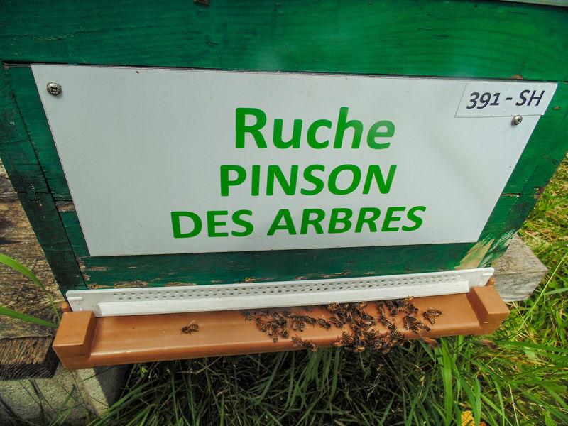 La ruche Pinson des arbres
