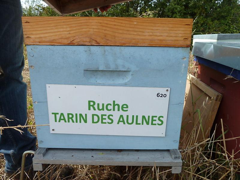La ruche Tarin des aulnes