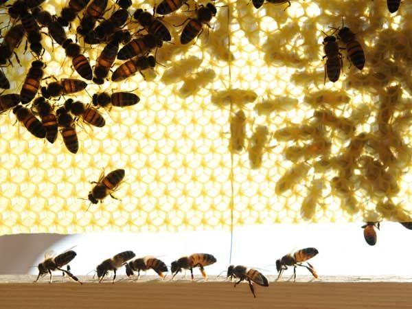La ruche Linotte a bec jaune