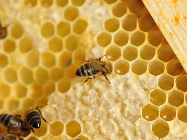 La ruche Paruline flamboyante