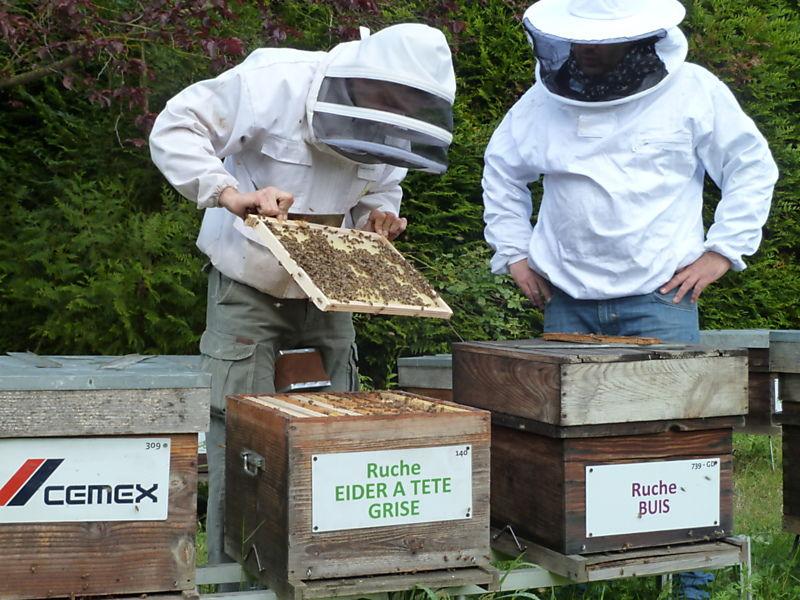 La ruche Eider a tête grise