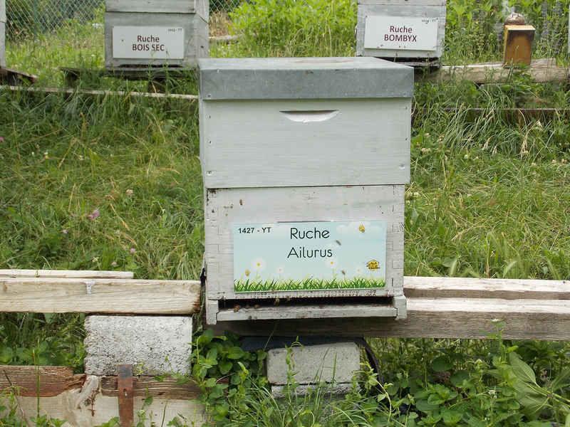 La ruche Ailurus