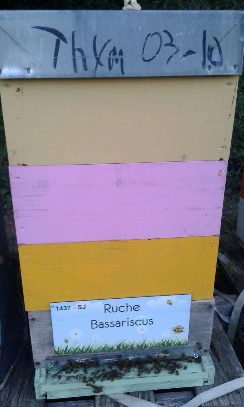 La ruche Bassariscus