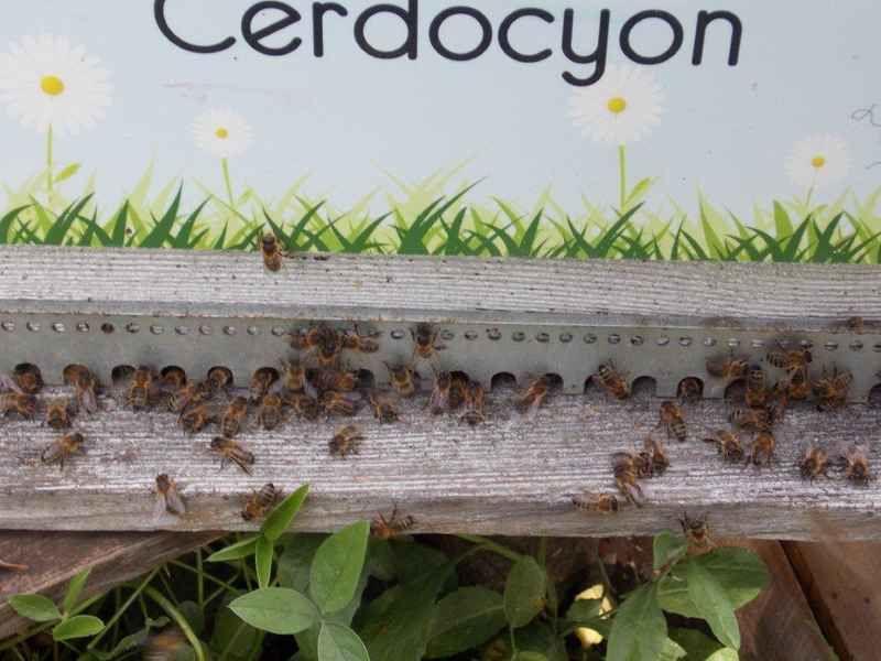 La ruche Cerdocyon