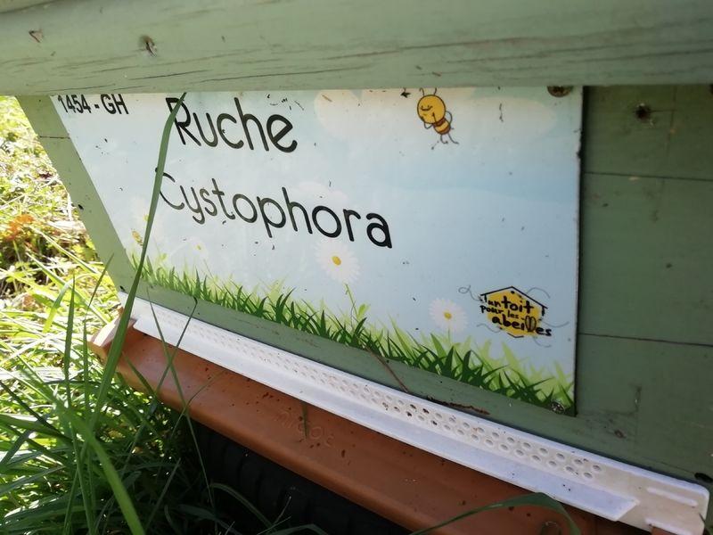 La ruche Cystophora