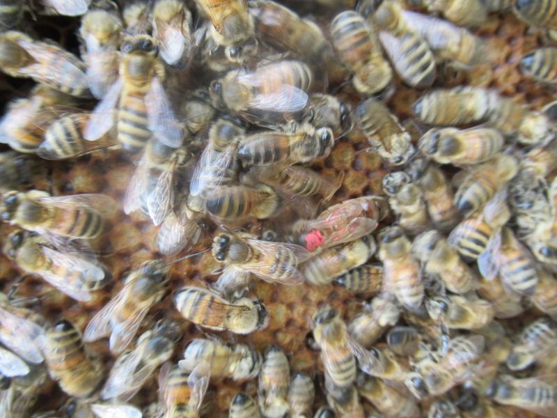 La ruche Eupleres