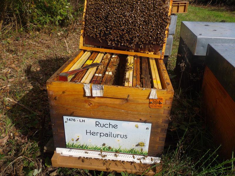 La ruche Herpailurus