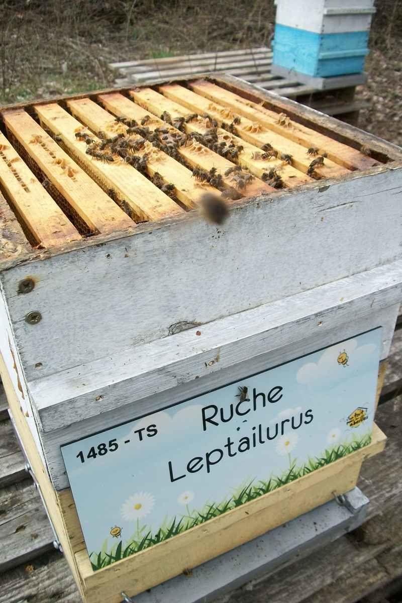La ruche Leptailurus