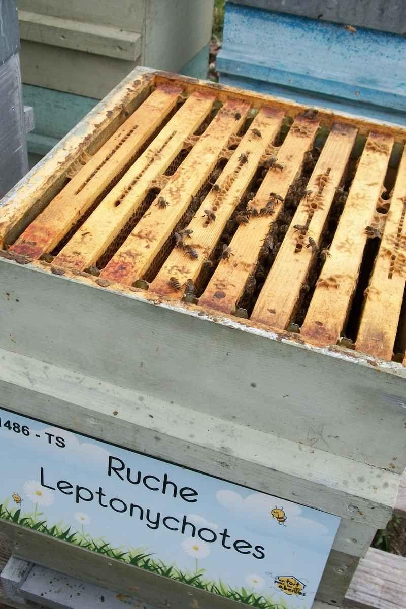 La ruche Leptonychotes