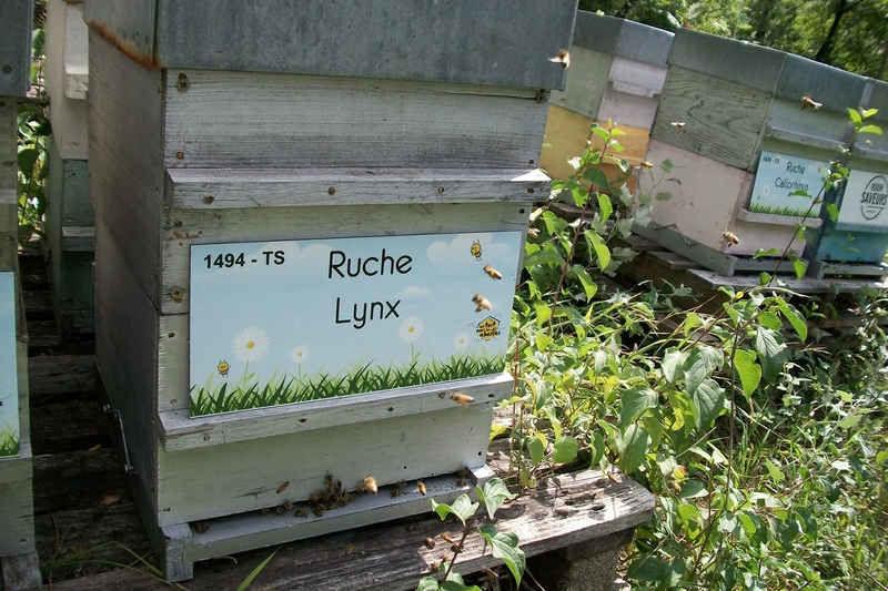 La ruche Lynx