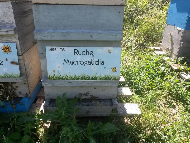 La ruche Macrogalidia
