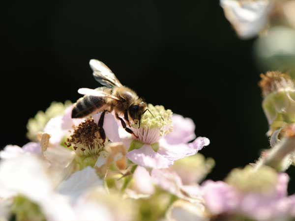 La ruche Martinet a ventre blanc