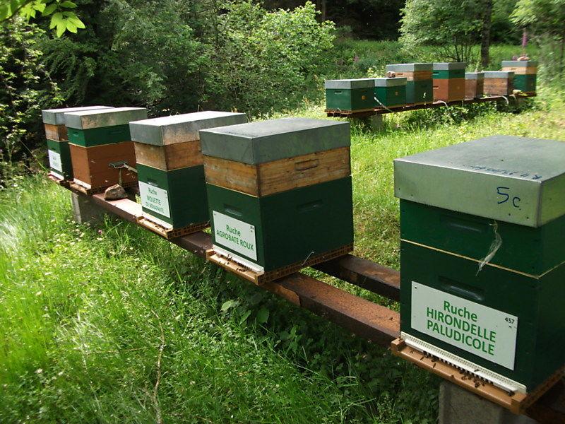 La ruche Hirondelle paludicole