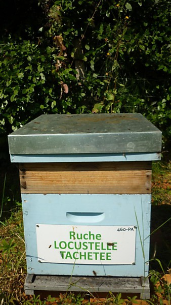 La ruche Locustelle tachetée