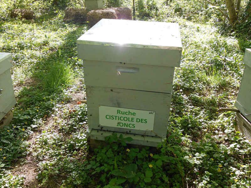 La ruche Cisticole des joncs