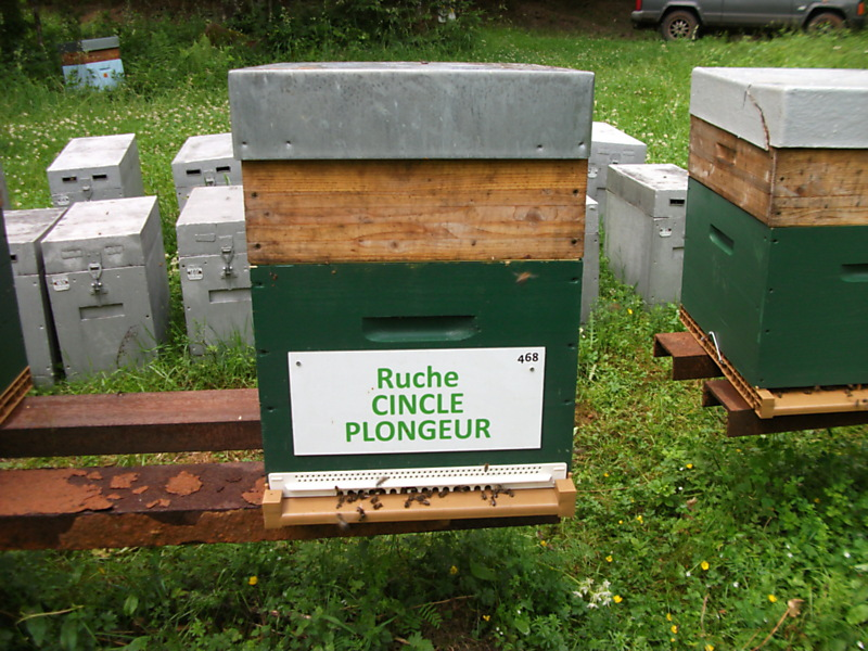 La ruche Cincle plongeur