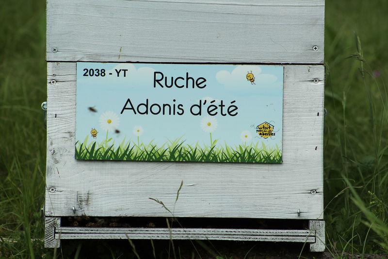 La ruche Adonis d