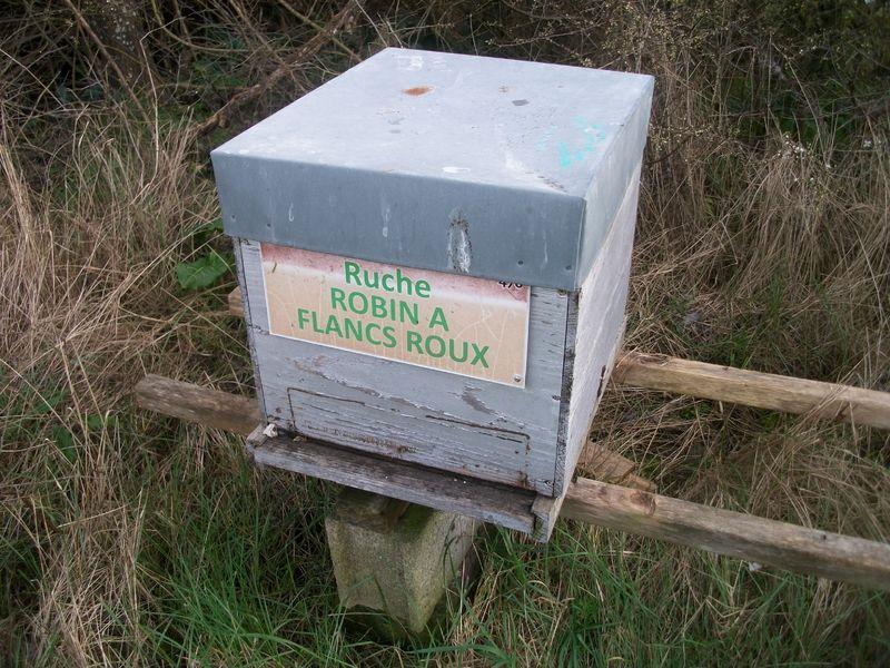 La ruche Robin a flancs roux