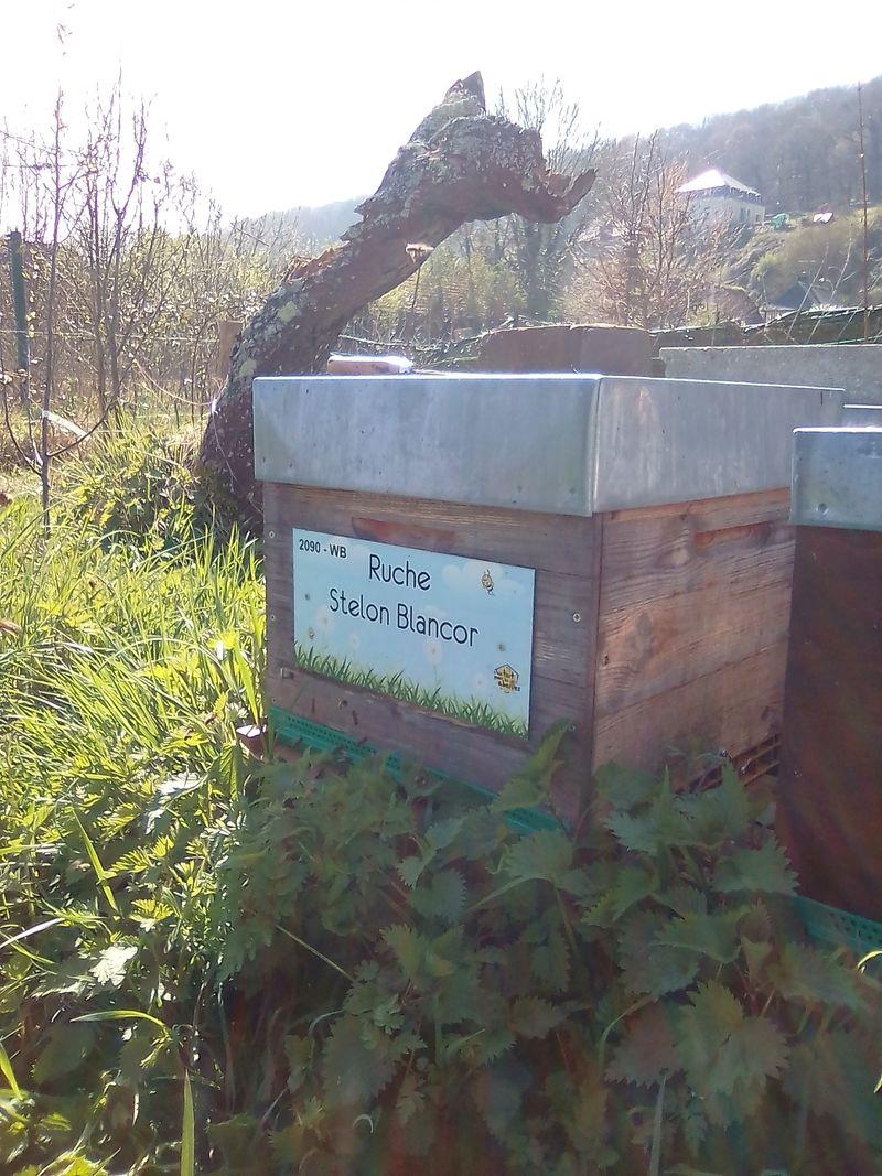 La ruche Stelon Blancor