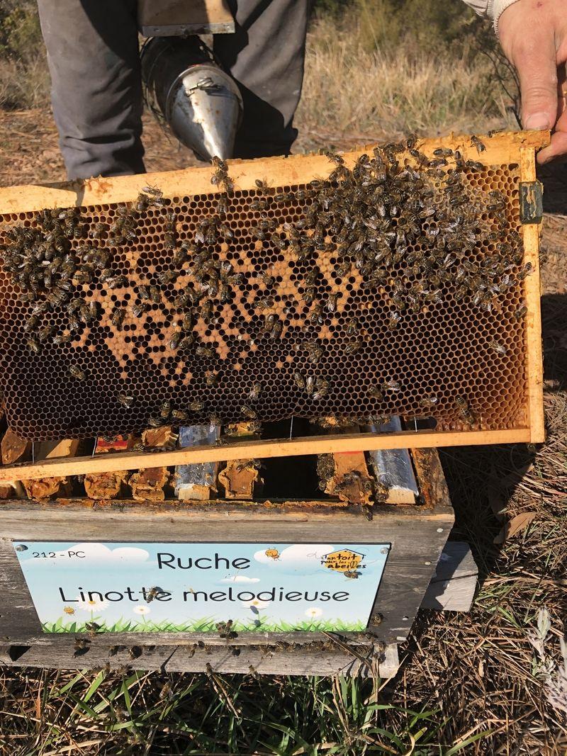 La ruche Linotte melodieuse