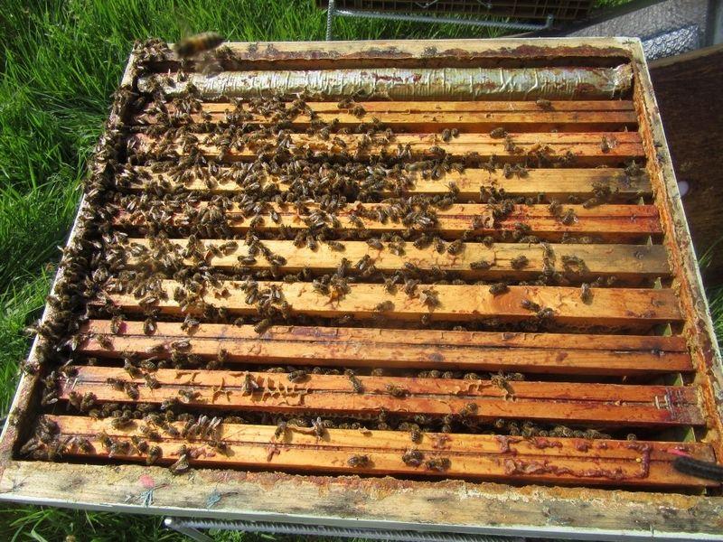 La ruche Piéride