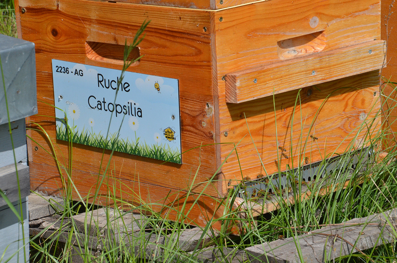 La ruche Catopsilia