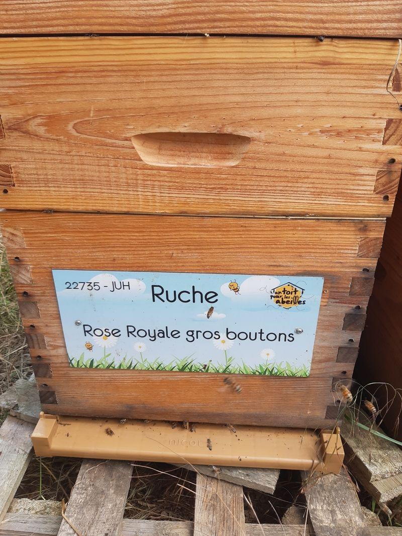 La ruche Rose Royale gros boutons