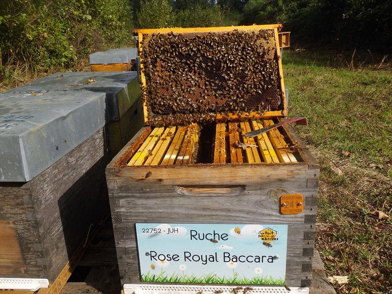 La ruche Rose Royal Baccara