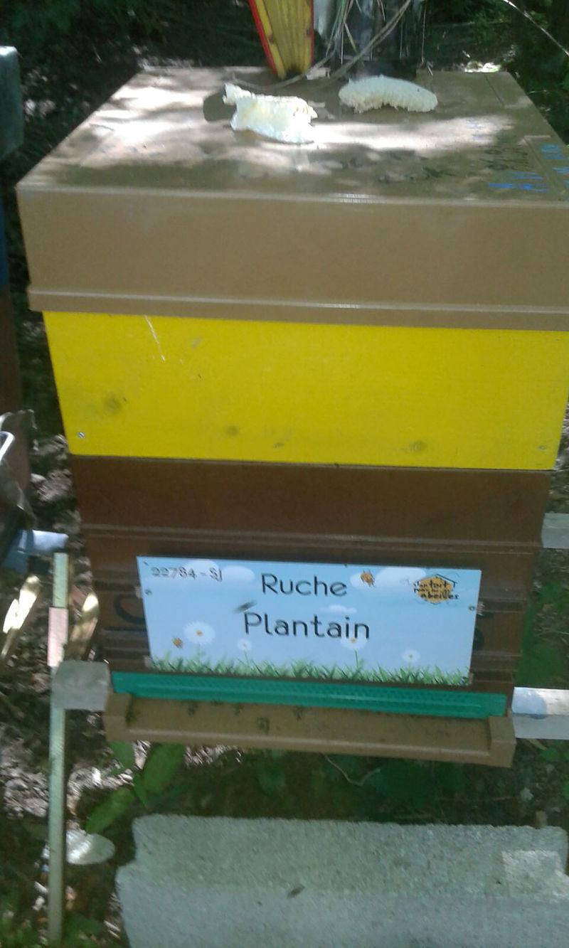 La ruche Plantain