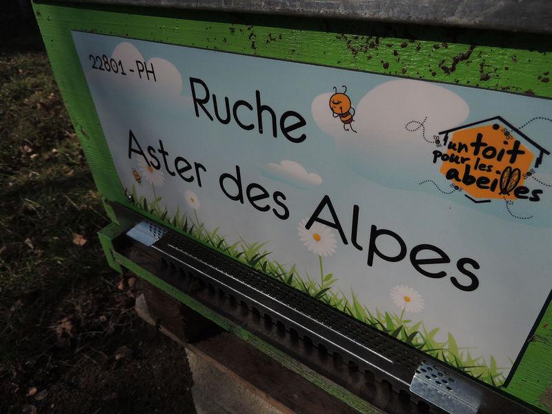 La ruche Aster des Alpes