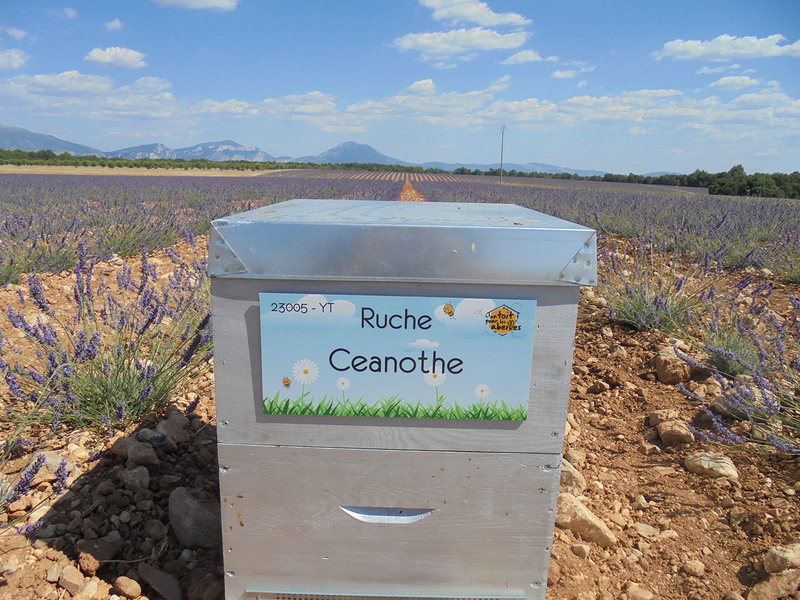 La ruche Ceanothe