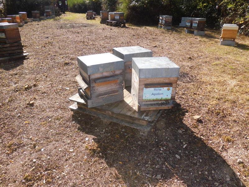 La ruche Apollon