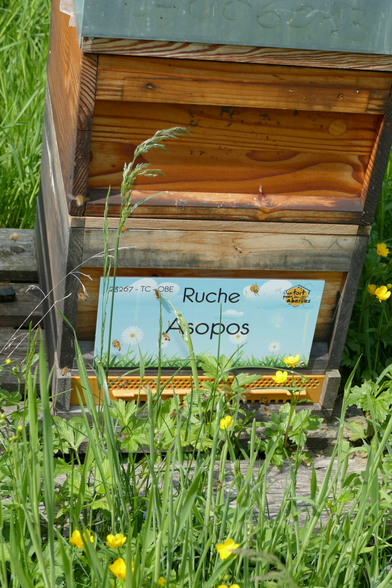 La ruche Asopos