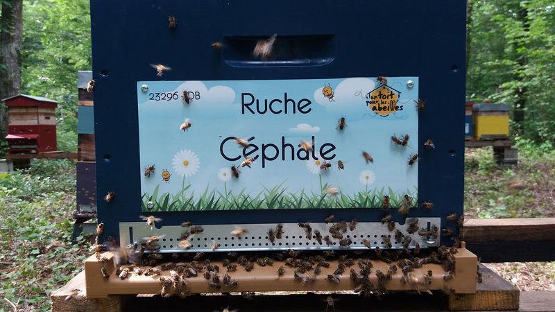 La ruche Céphale