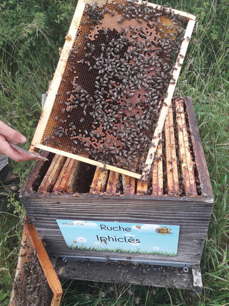 La ruche Iphiclès