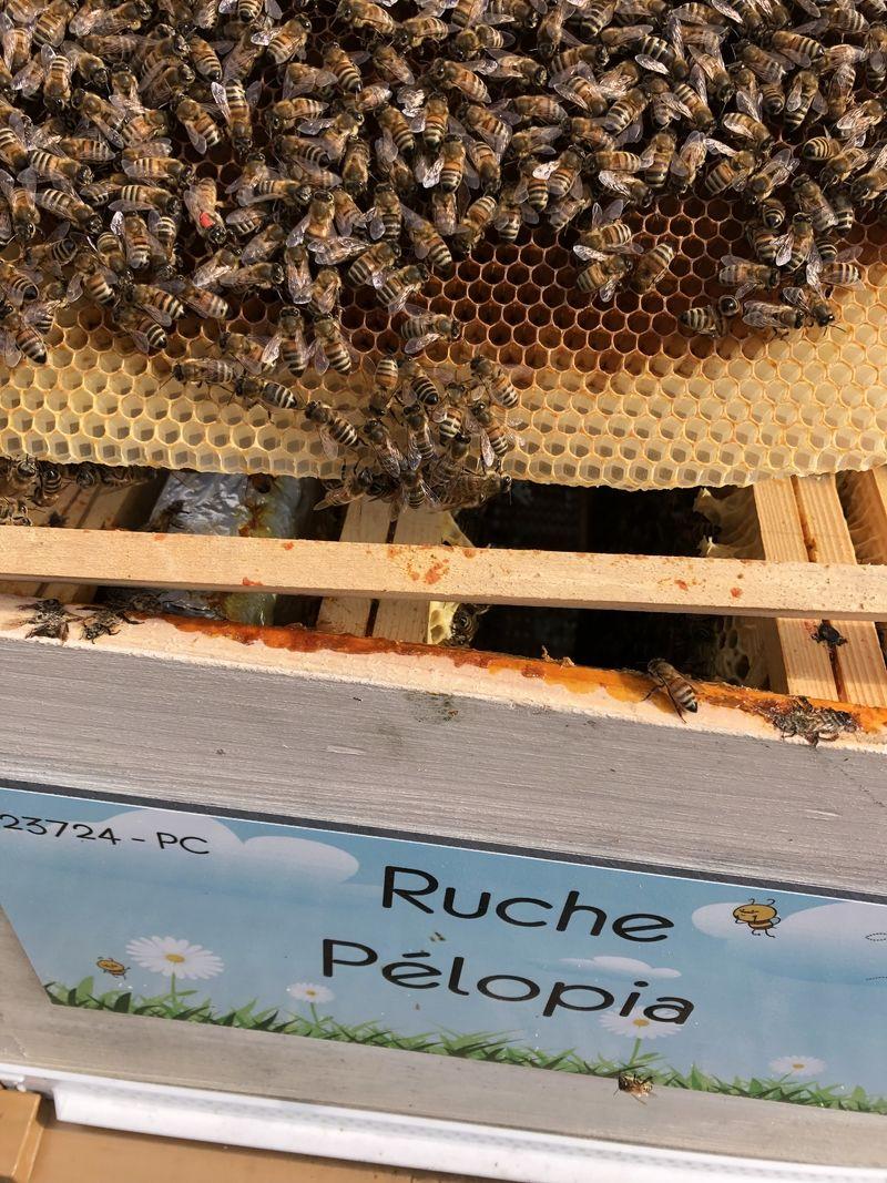 La ruche Pélopia
