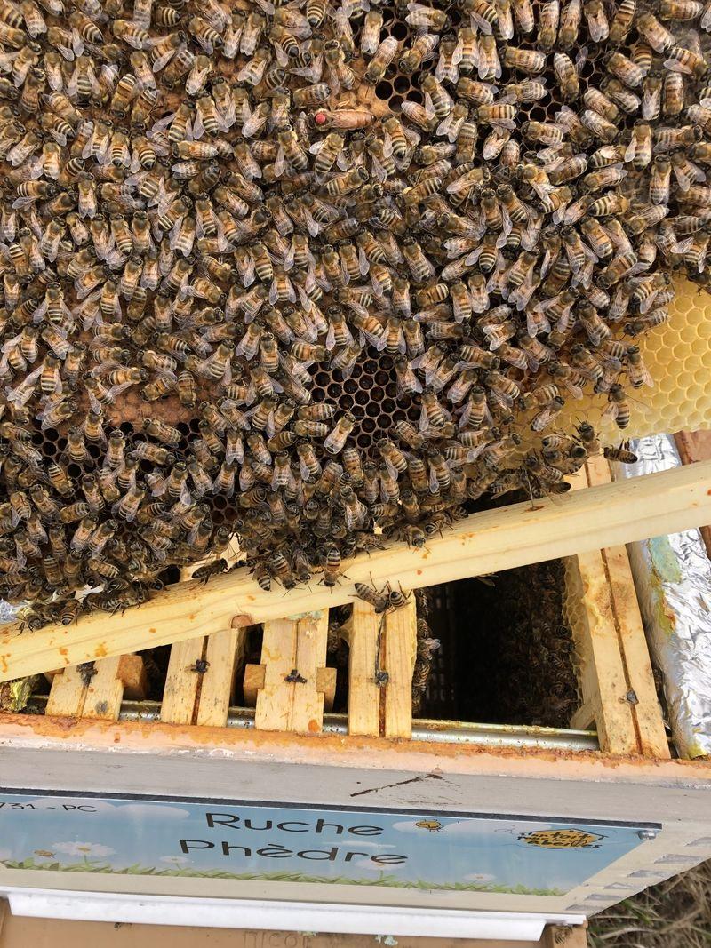 La ruche Phèdre