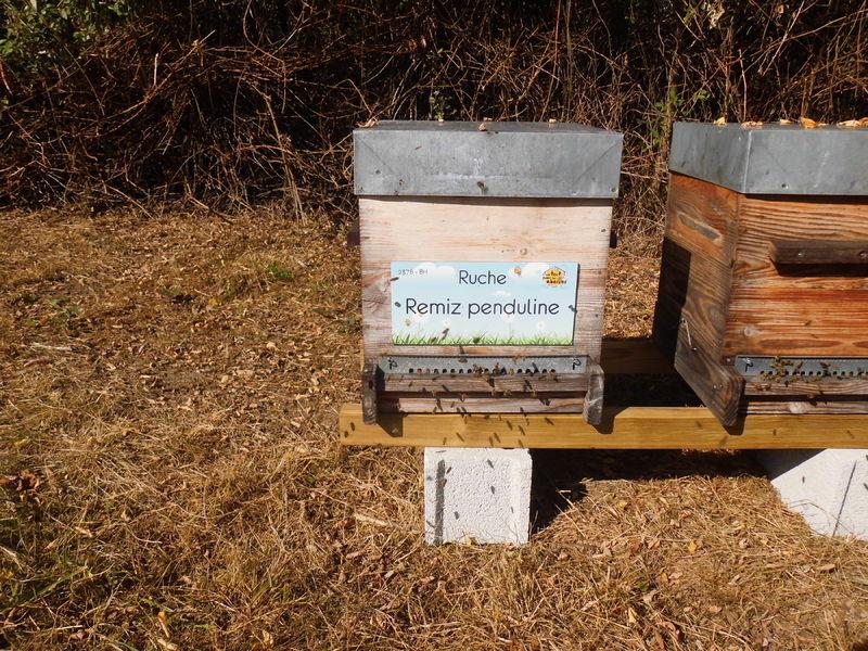 La ruche Remiz penduline