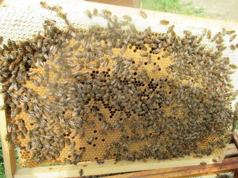 La ruche Salmacis