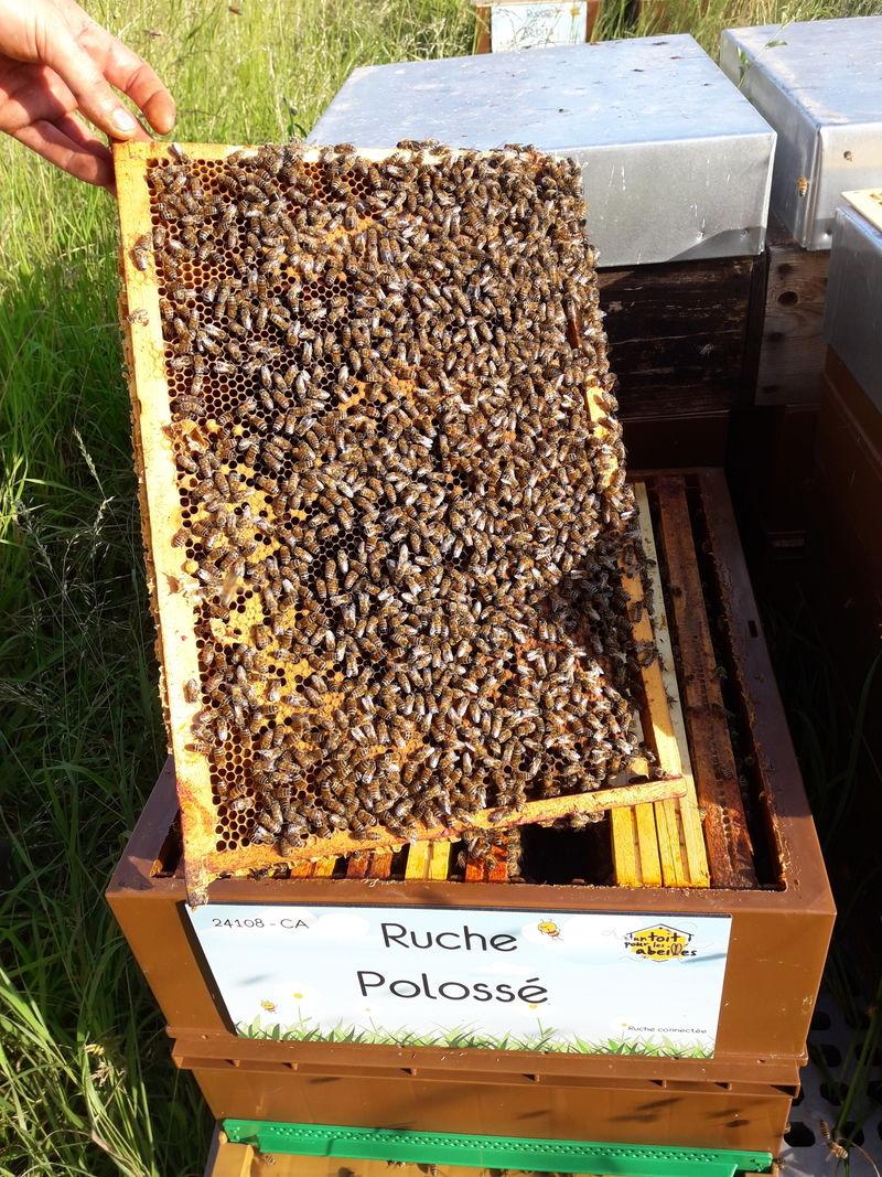 La ruche Polossé