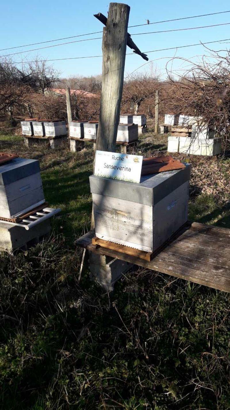 La ruche Sanseverina
