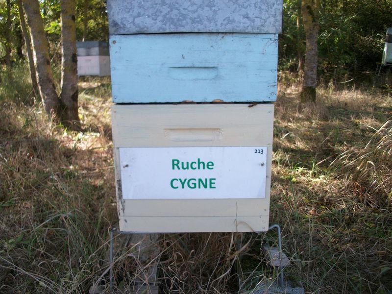 La ruche Cygne