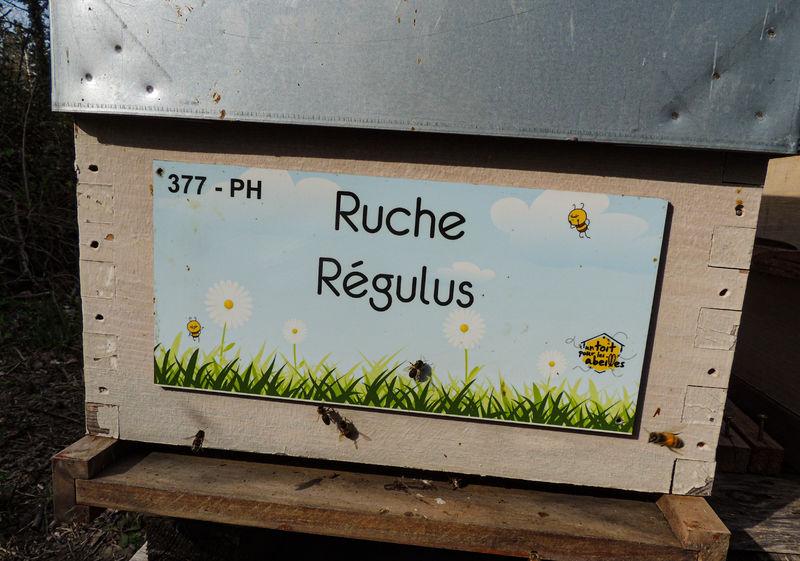 La ruche Régulus