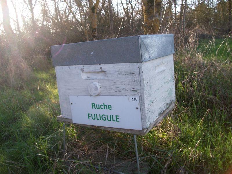 La ruche Fuligule